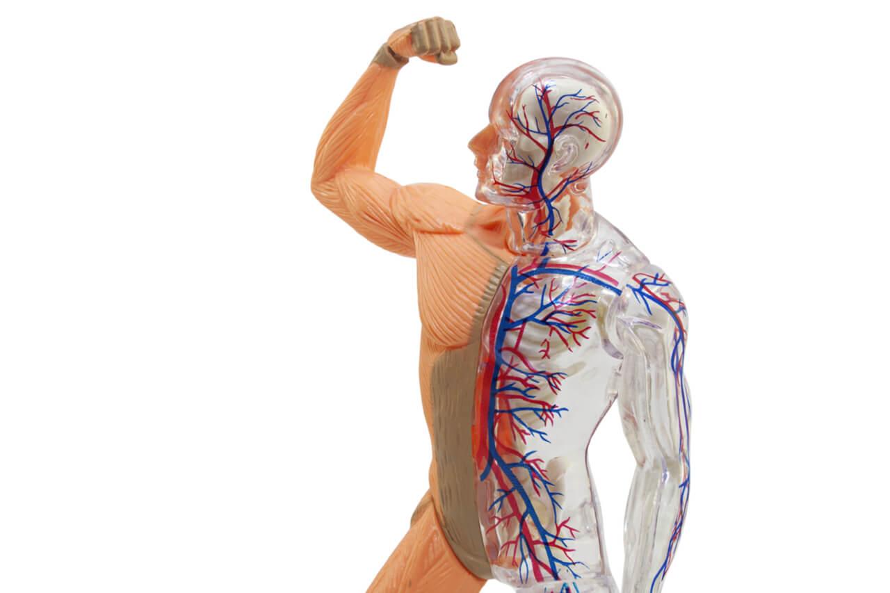 Veins Vs Arteries: Understanding And Classifying Your Blood Vessels
