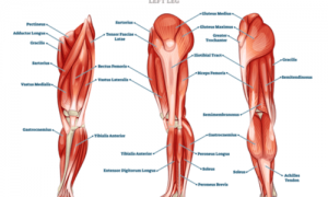 parts of the leg